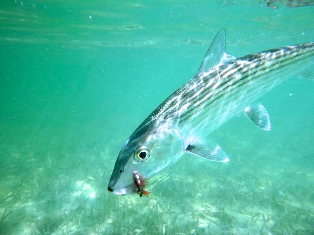 Bonefish El Pescador Belize