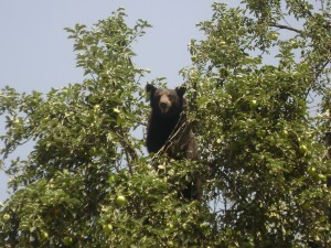 Crested Butte CO Bears In Town