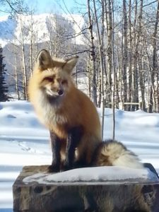 Crested Butte Fox